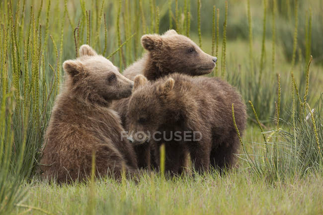 Brown bear cubs — Stock Photo