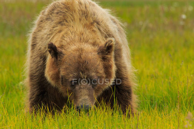 Brown bear, Alaska — Stock Photo