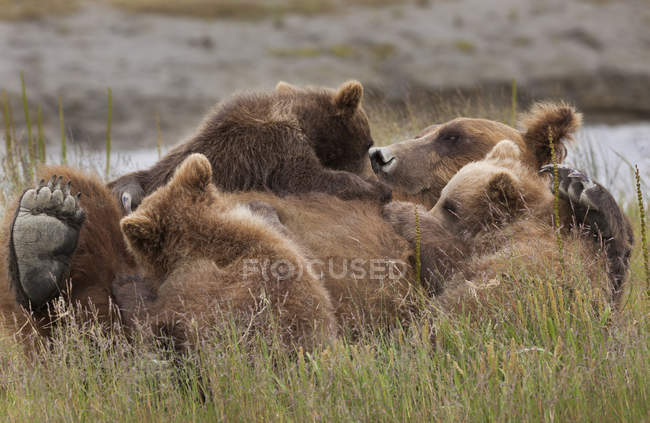 Brown bear cubs nursing — Stock Photo