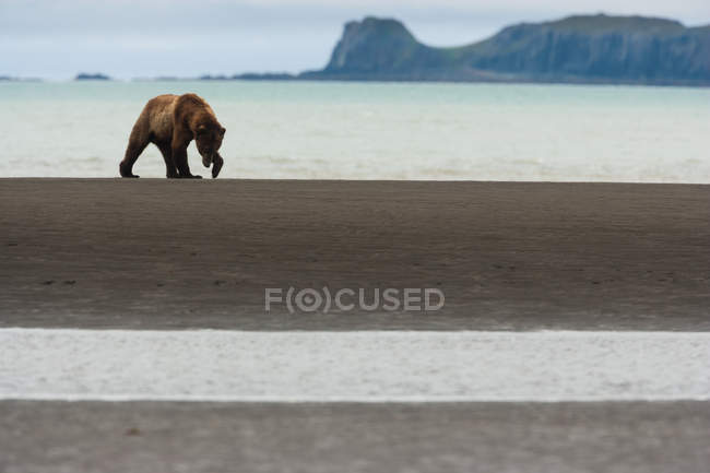 Brown bear walking along the sea shore. — Stock Photo