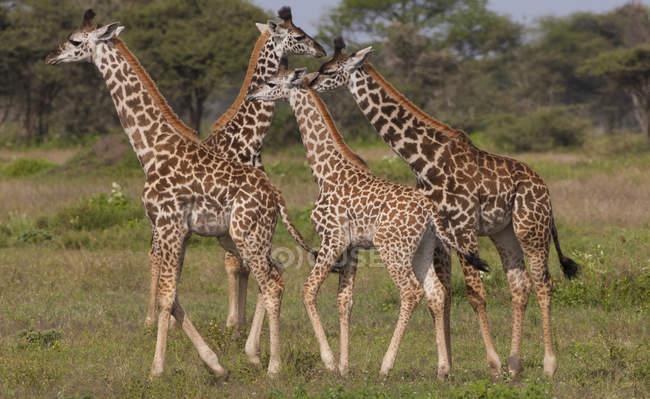 Small group of masai giraffes — Stock Photo