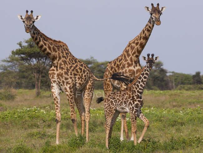 Kleine Gruppe von Massai-Giraffen — Stockfoto