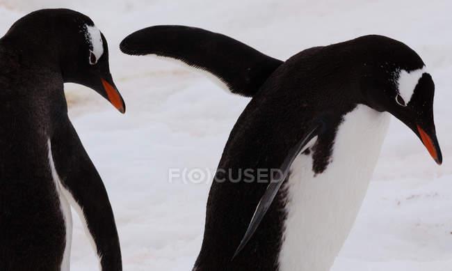 Pingüinos Gentoo, Antártida — Stock Photo