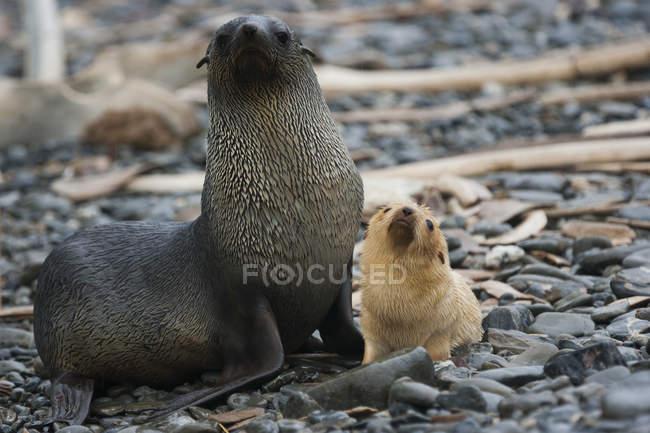 Antarctic fur seals — Stock Photo