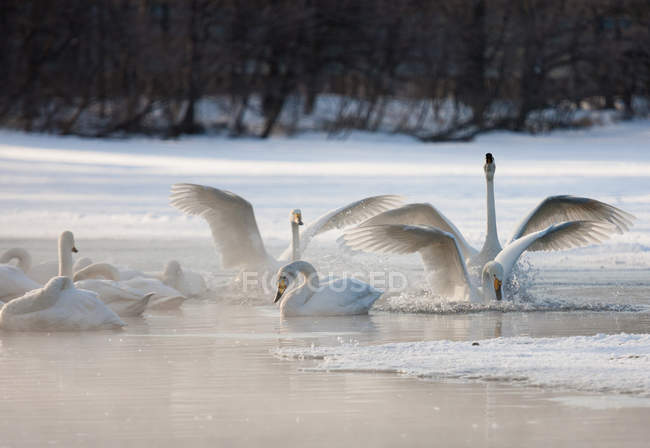 Whooper swans, Hokaido — Stock Photo