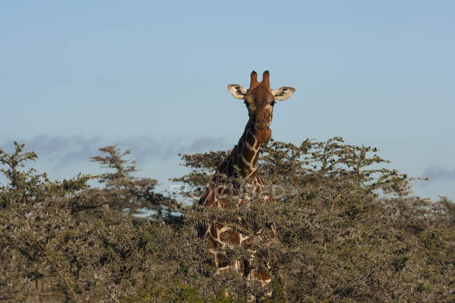 Girafe réticulée à la savane — Photo de stock