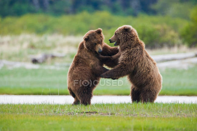 Brown bears, Katmai National Park — Stock Photo