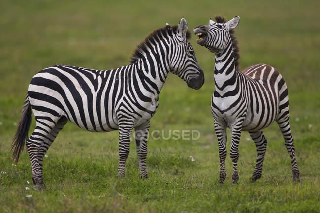 Рівнини зебр, Нгоронгоро Заповідна зона — стокове фото