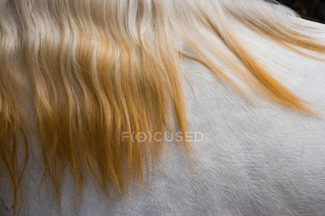 Lusitano cavalo de perto — Fotografia de Stock