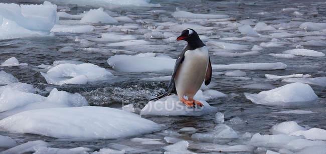 Gentoo пінгвін, Антарктида — стокове фото