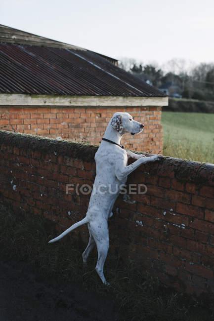 Cão a olhar para uma parede — Fotografia de Stock