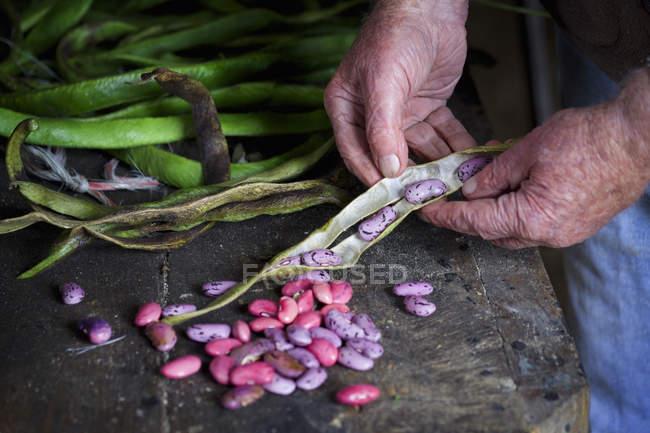 Homme prenant des graines de haricot coureur — Photo de stock