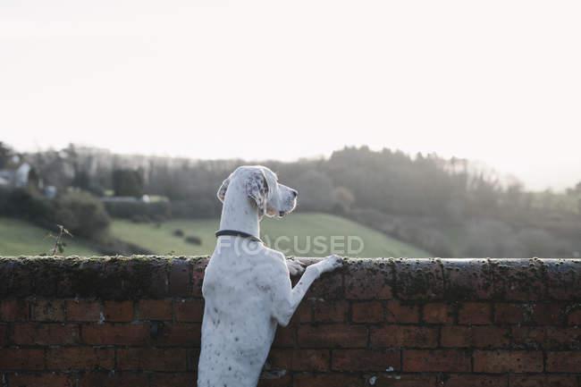 Pé de cachorro sobre suas patas traseiras — Fotografia de Stock