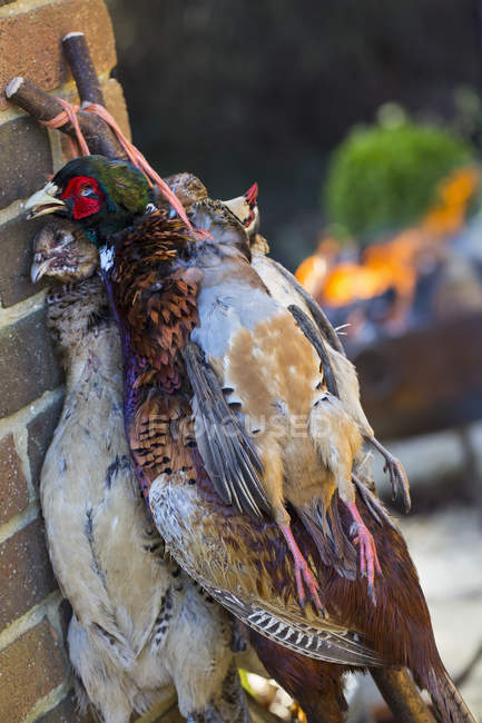 Dead birds hung by the neck. — Stock Photo