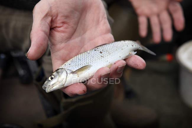 Dace pequeno peixe na mão — Fotografia de Stock
