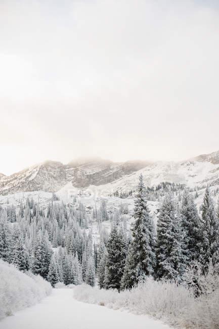 Соснового лісу в долині взимку — стокове фото