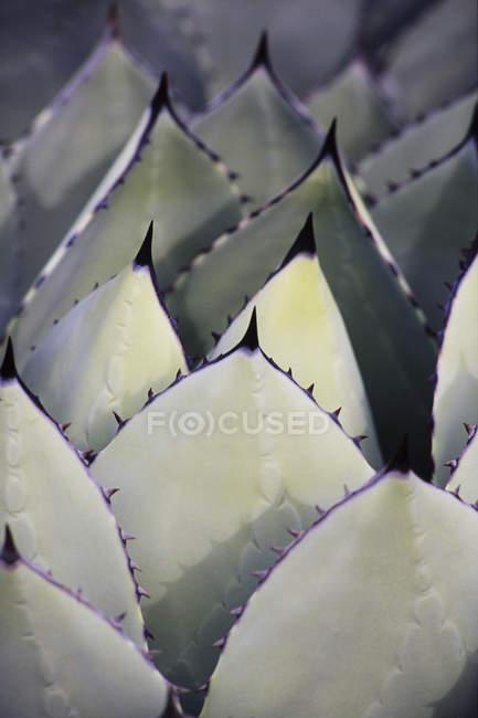 Saftigen Yucca Pflanze Blättern — Stockfoto