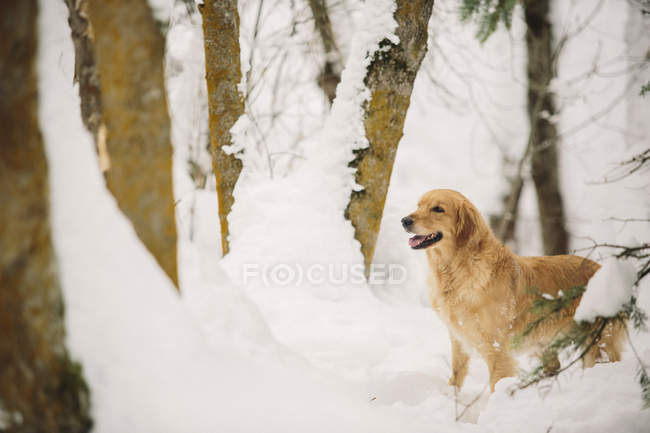 Golden Retriever Hund in einem verschneiten Wald. — Stockfoto