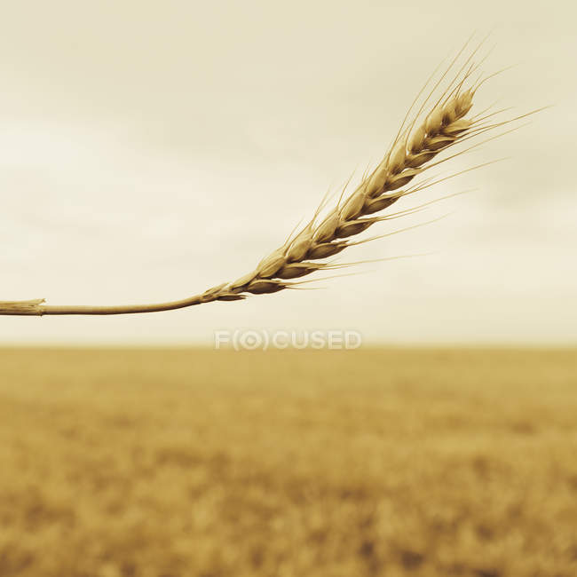 Wheat with a ripening ear — Stock Photo
