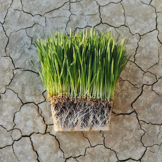 Plantas de pasto de trigo con densa red de raíces - foto de stock