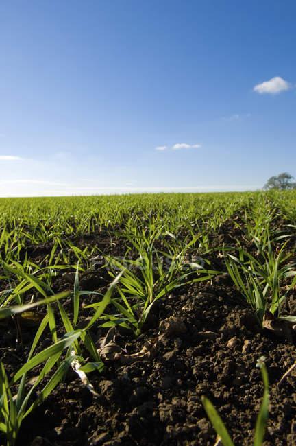 Поле рослин на фермі — стокове фото