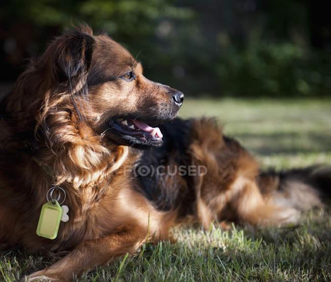 Cão deitado na grama — Fotografia de Stock