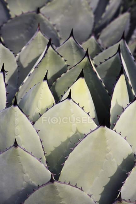 Folhas de plantas de mandioca suculentas — Fotografia de Stock