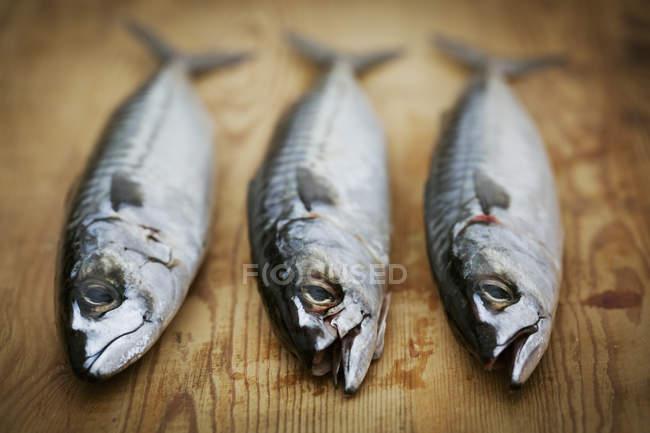 Fresh Mackerel fish — Stock Photo