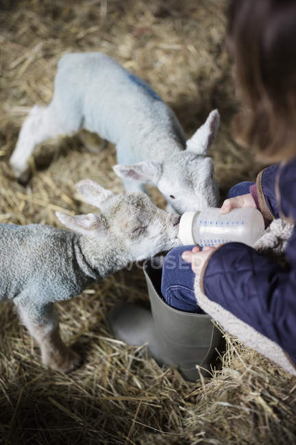 Little girl and newborn lambs — Stock Photo