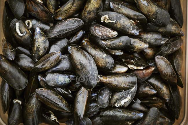 Fresh Black Mussels. — Stock Photo