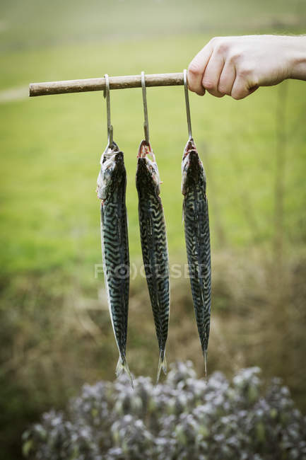 Chef holding three Mackerel — Stock Photo
