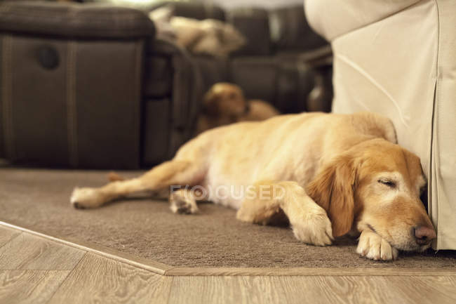 Chien Labrador couché sur hearthrug — Photo de stock