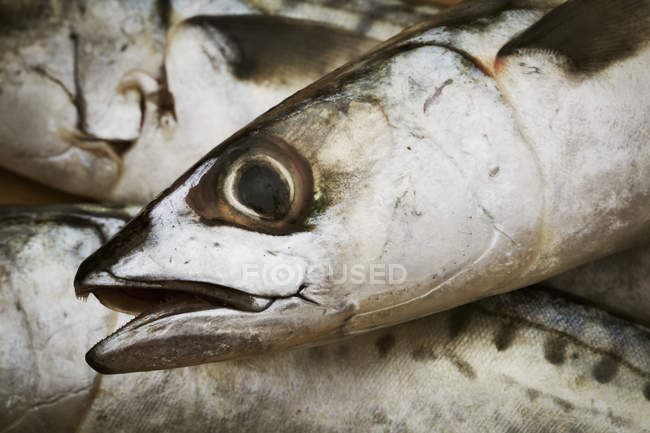 Head of a fresh Mackerel. — Stock Photo