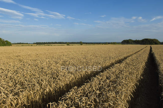 Campo di maturazione del frumento — Foto stock
