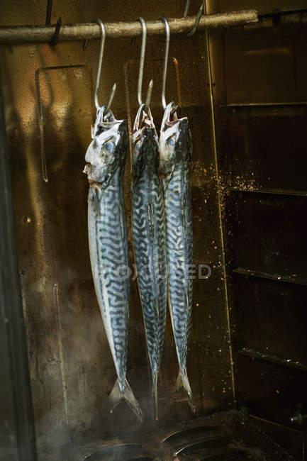 Mackerel hanging in a fish smoker. — Stock Photo