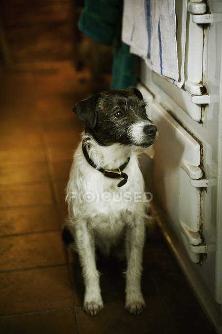 Terrier sitting next to stove in kitchen — Stock Photo