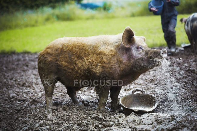 Moyenne de cochon au champ boueux — Photo de stock