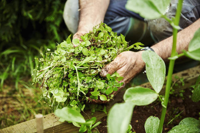 Gardener holding handful of weeds — Stock Photo