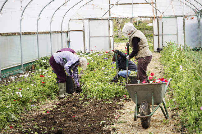 Women working in a poly tunnel — Stock Photo