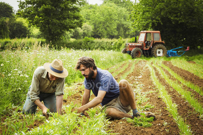 Men tending rows of small plants — Stock Photo