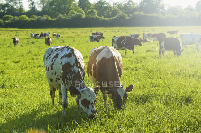 Troupeau de vaches dans un champ . — Photo de stock