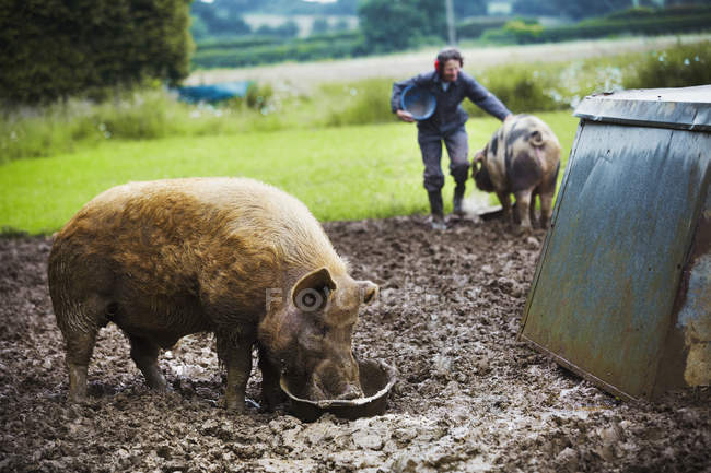 Pig eating from bucket — Stock Photo