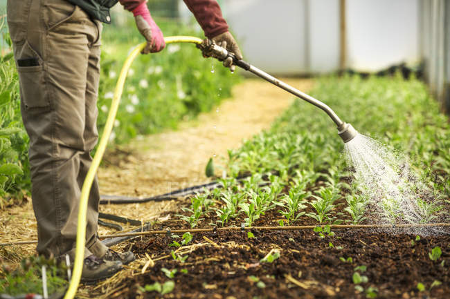Worker in a polytunnel watering young seedlings — Stock Photo