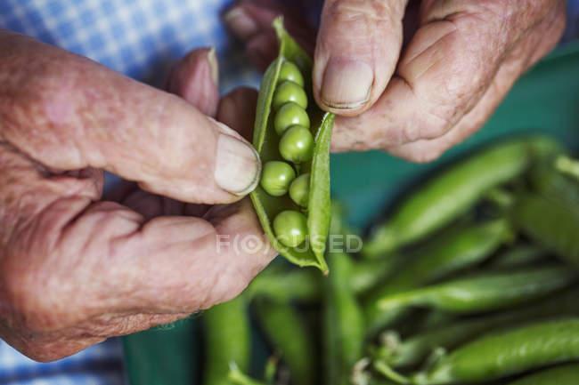 Man opening peapod — Stock Photo