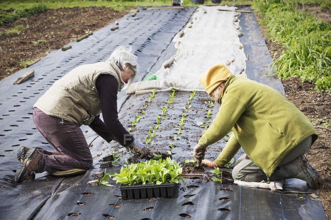 People planting out small seedlings — Stock Photo