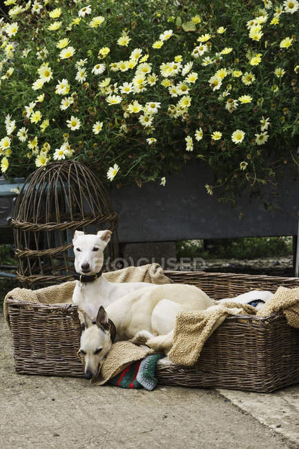 Two greyhound dogs in wicker dogbed — Stock Photo