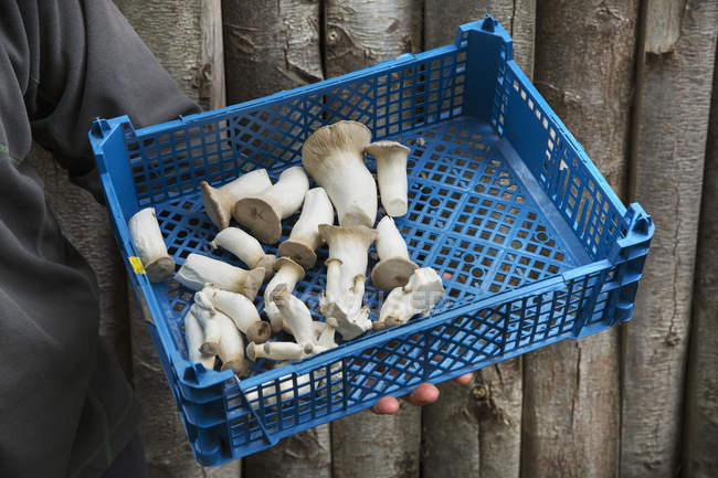 Crate of freshly picked mushrooms — Stock Photo