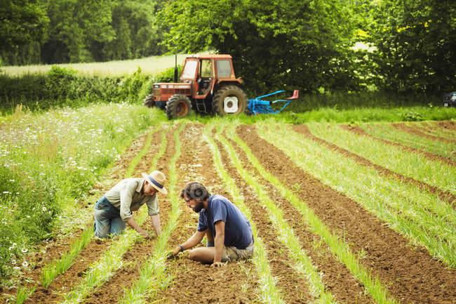 Homens que cuidam de fileiras de plantas pequenas — Fotografia de Stock