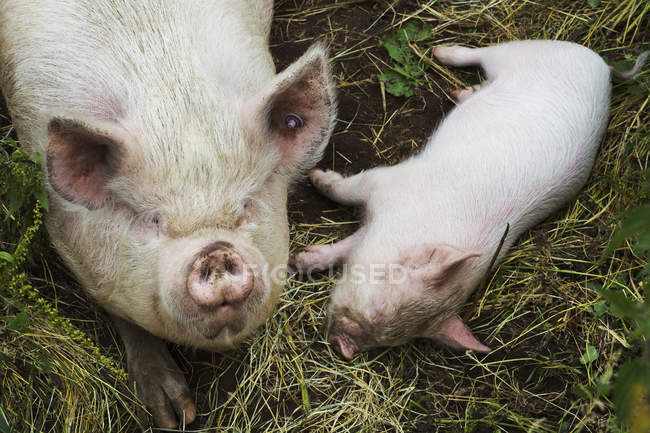 Лежа на Сене на ферме свиней — стоковое фото