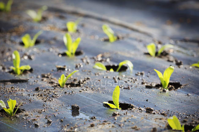 Small plants planted out in the soil — Stock Photo